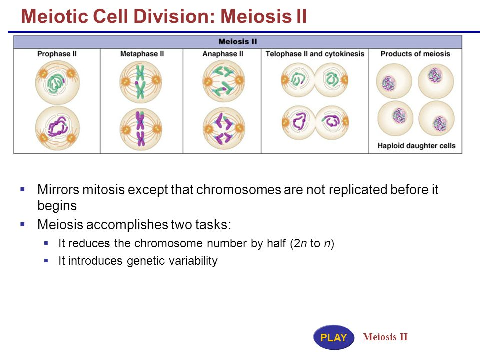 Meiotic Cell Division: Meiosis II