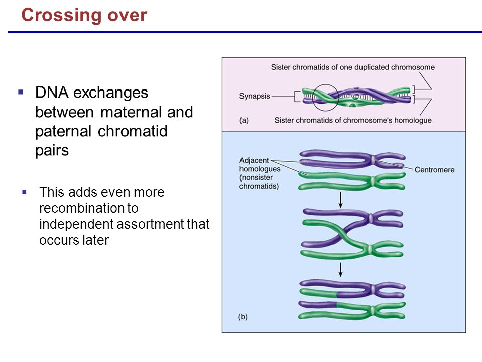Crossing over DNA exchanges between maternal and paternal chromatid pairs.
