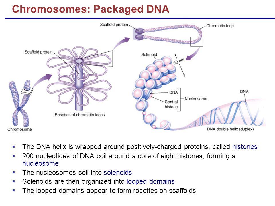 Chromosomes: Packaged DNA
