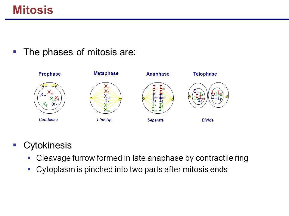 Mitosis The phases of mitosis are: Cytokinesis