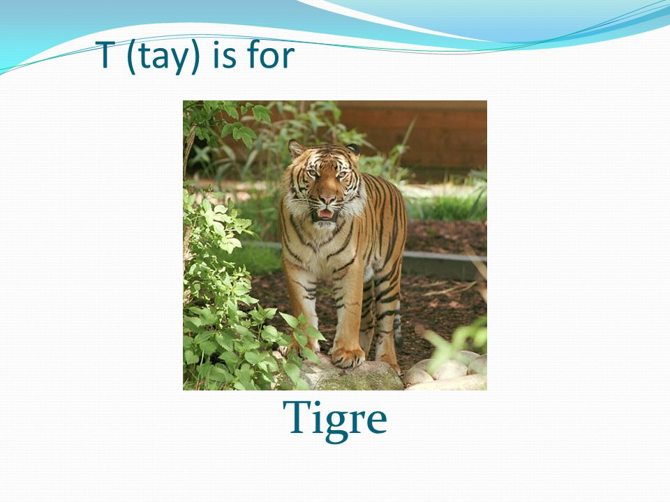 T (tay) is for Tigre