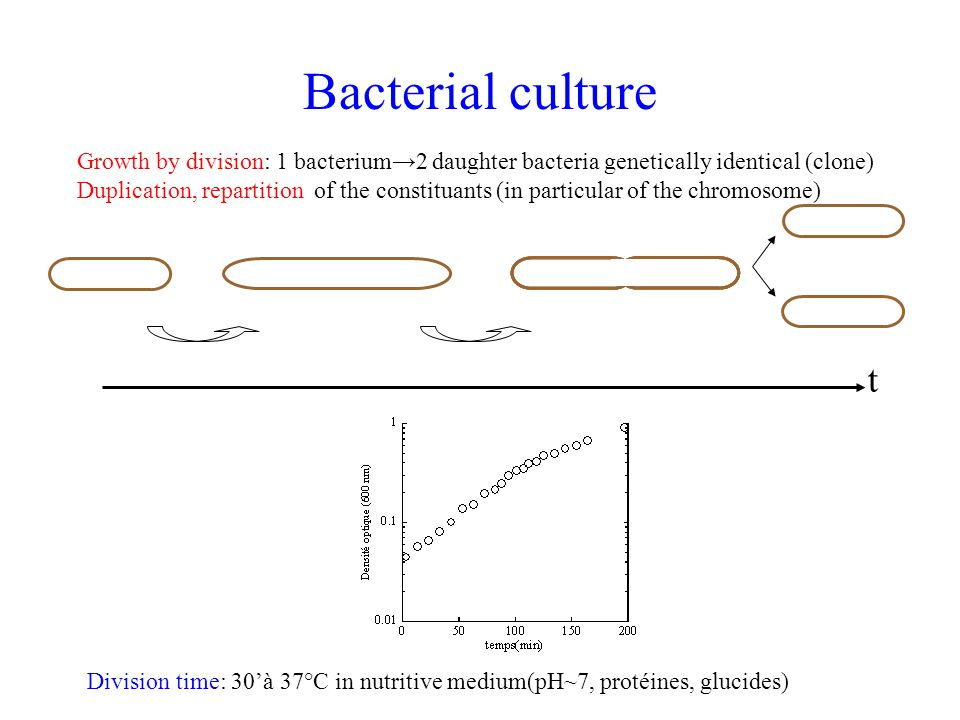Bacterial culture Growth by division: 1 bacterium→2 daughter bacteria genetically identical (clone)