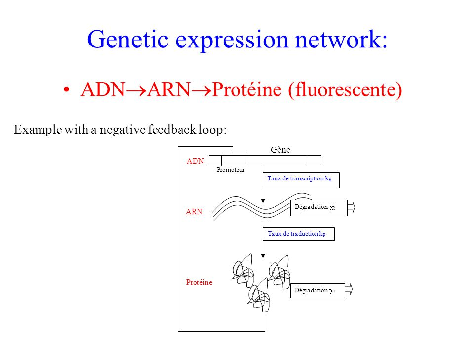 Genetic expression network: