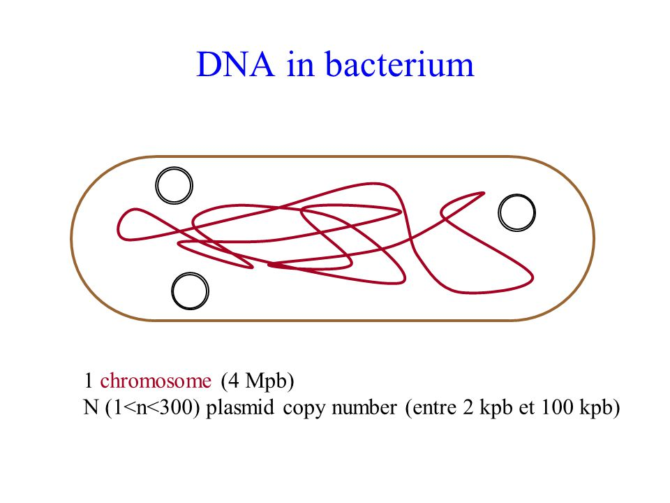 DNA in bacterium 1 chromosome (4 Mpb)