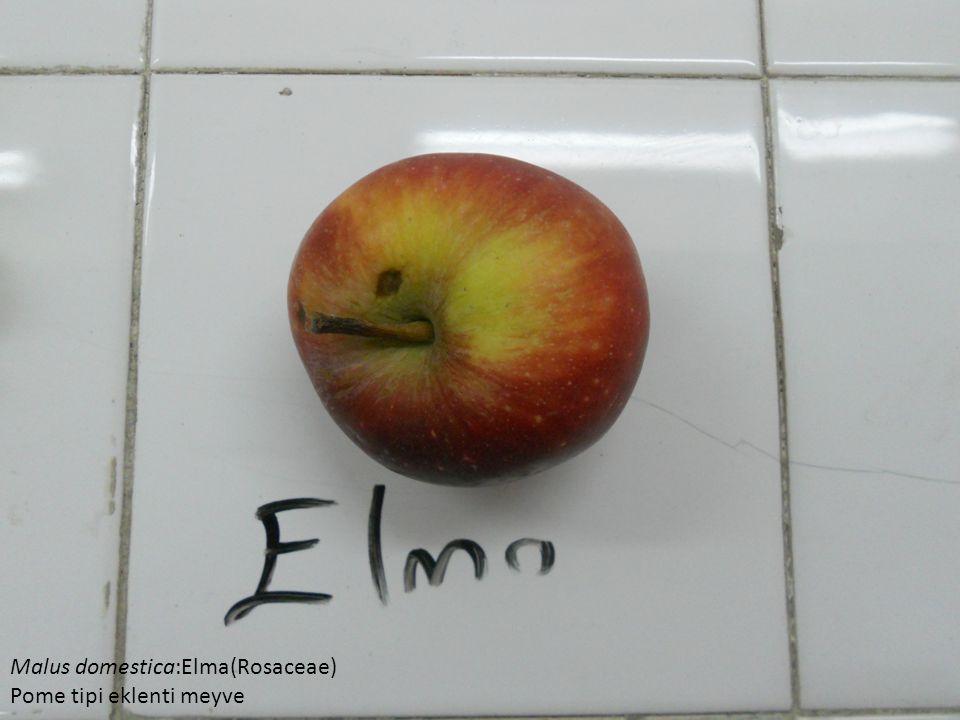 Malus domestica:Elma(Rosaceae)