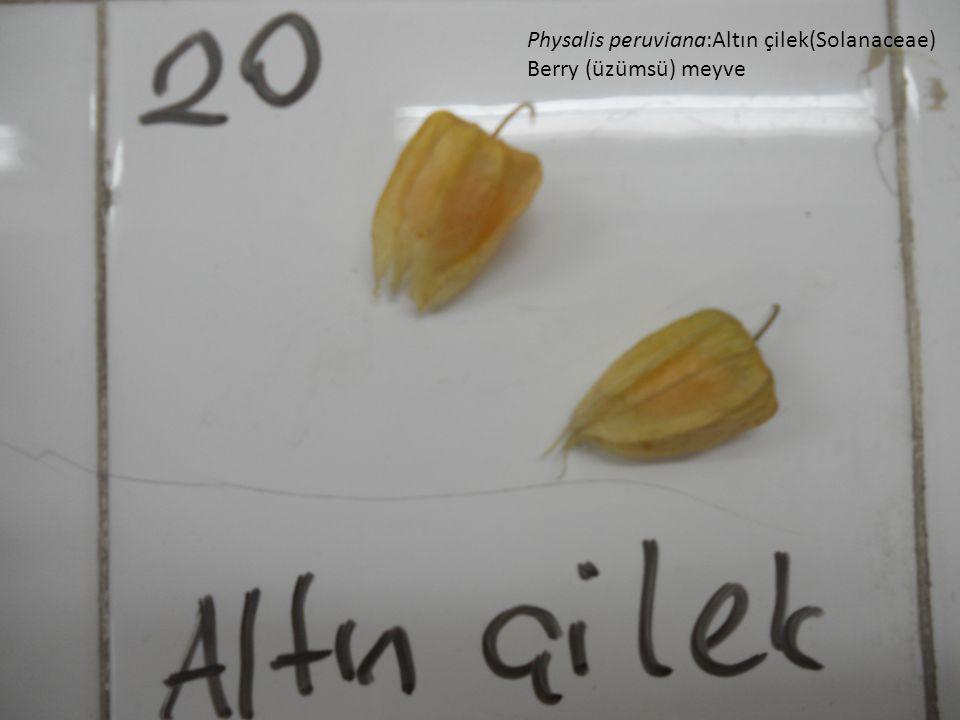Physalis peruviana:Altın çilek(Solanaceae)
