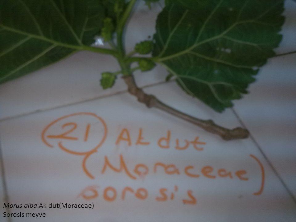 Morus alba:Ak dut(Moraceae)