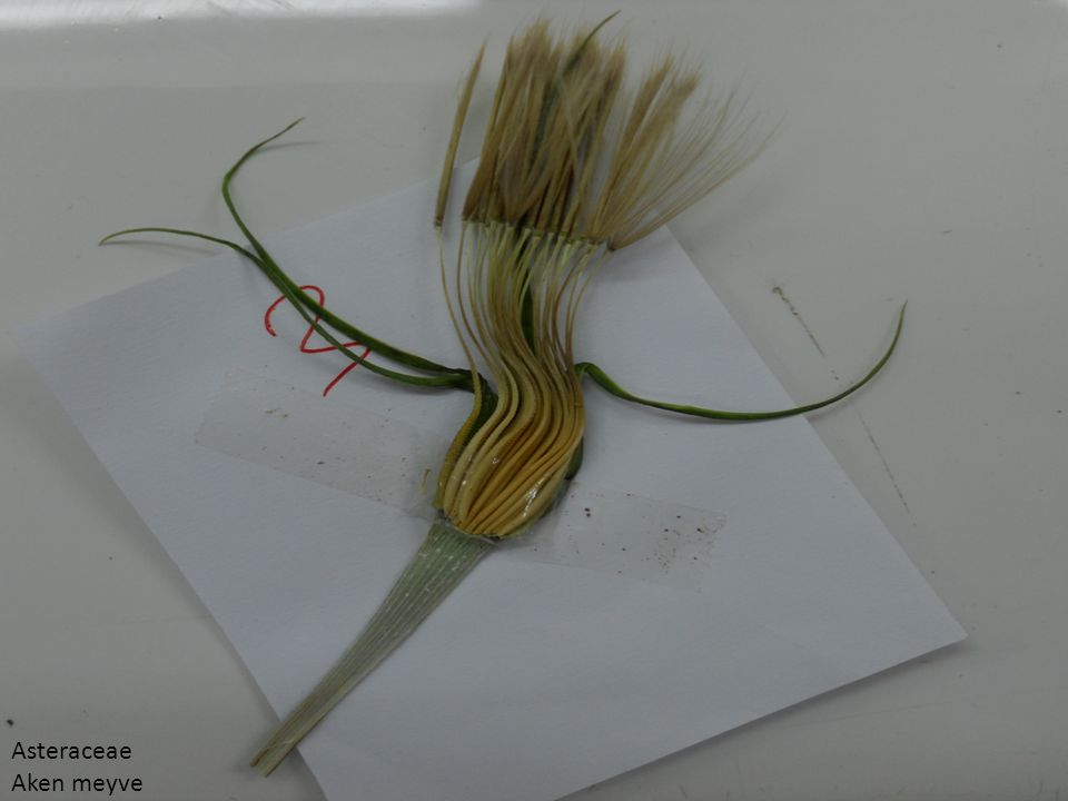 Asteraceae Aken meyve