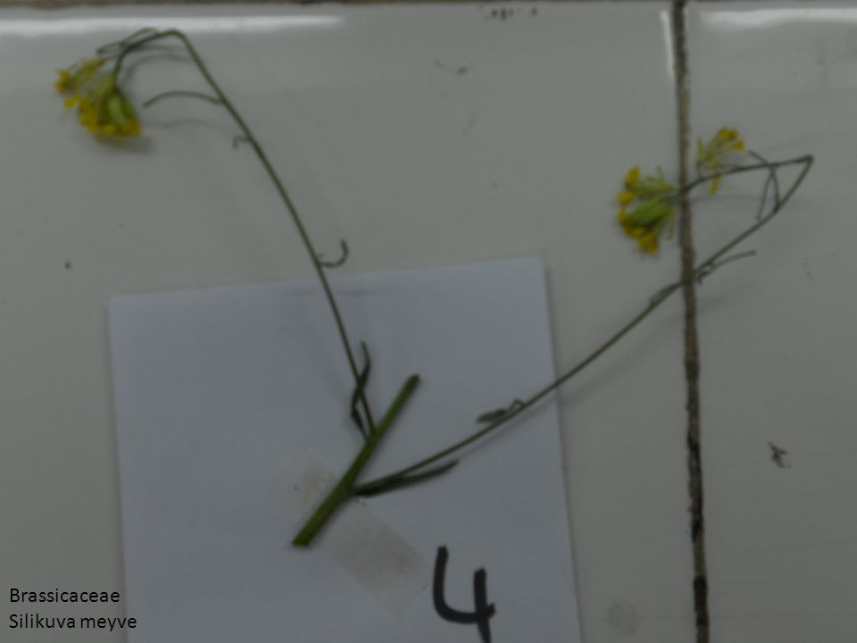 Brassicaceae Silikuva meyve