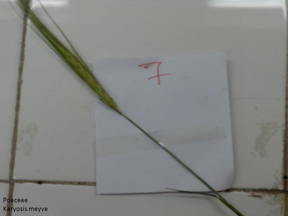 Poaceae Karyosis meyve