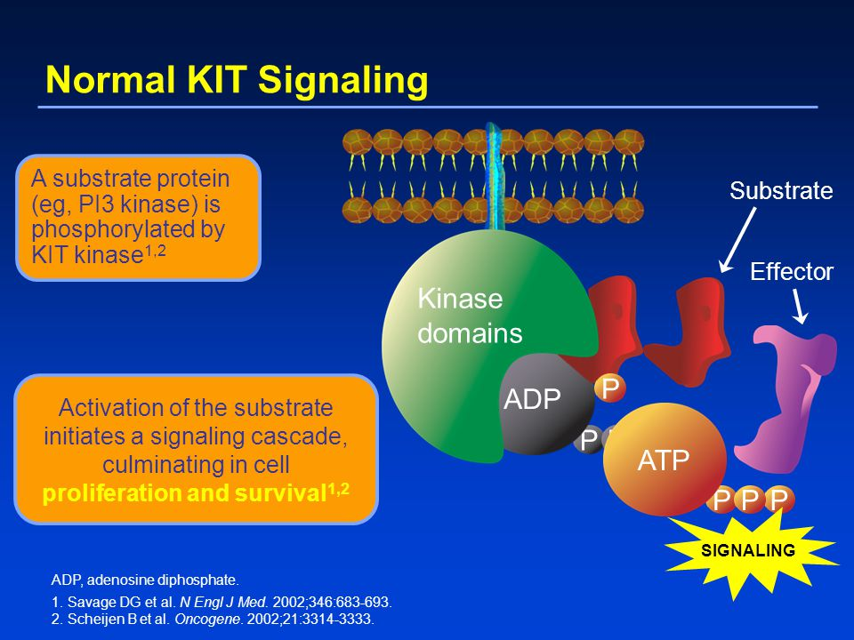 Normal KIT Signaling Kinase domains P P ADP P ATP P P P