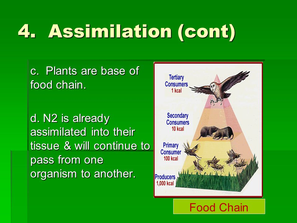 4. Assimilation (cont) c. Plants are base of food chain.
