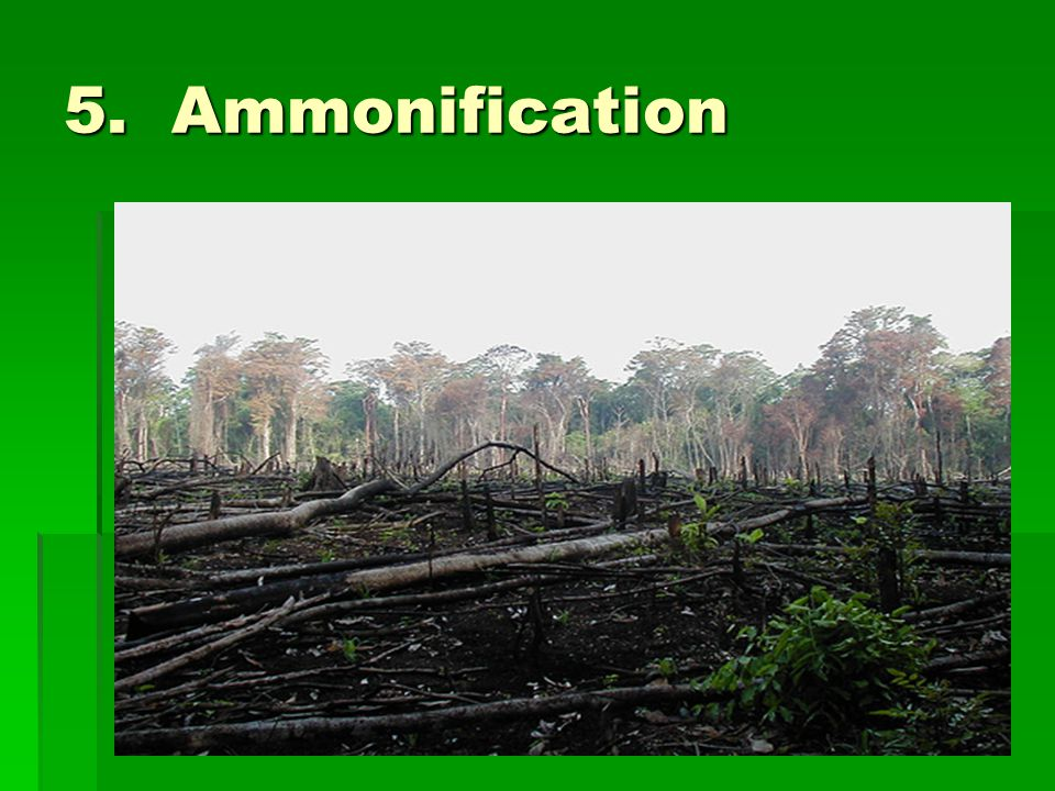 5. Ammonification