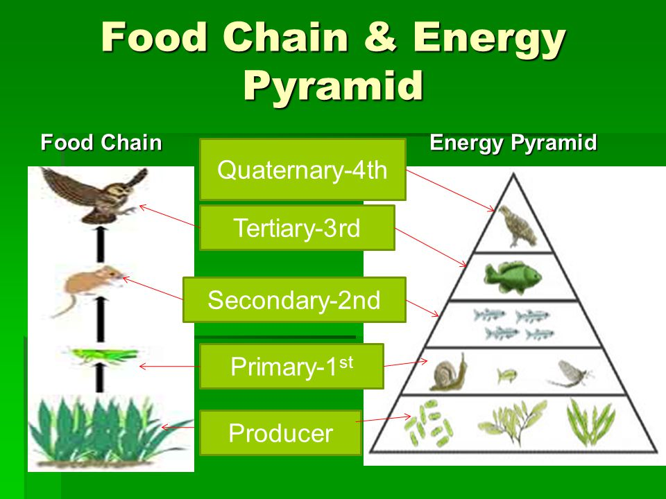 Food Chain & Energy Pyramid