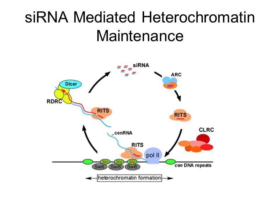 siRNA Mediated Heterochromatin Maintenance
