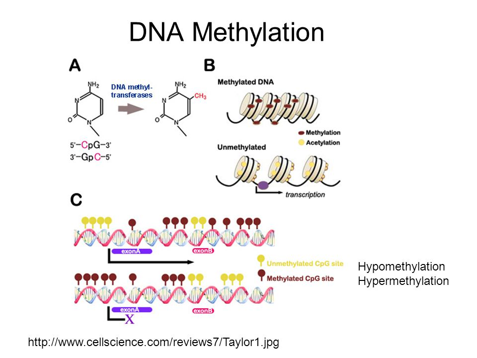 DNA Methylation Hypomethylation Hypermethylation