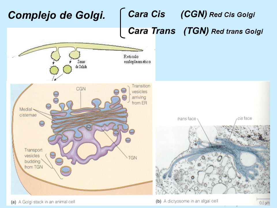 Complejo de Golgi. Cara Cis (CGN) Red Cis Golgi