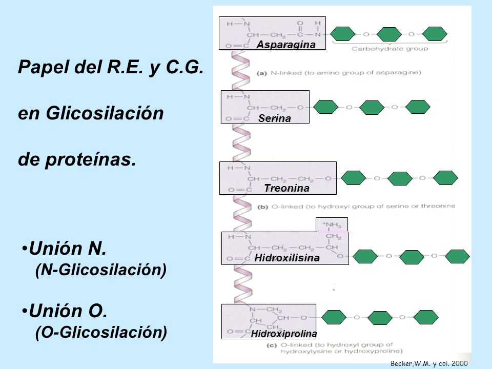 Papel del R.E. y C.G. en Glicosilación de proteínas. Unión N. Unión O.