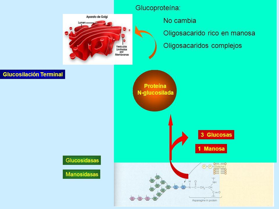 Oligosacarido rico en manosa Oligosacaridos complejos