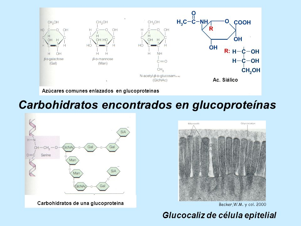 Carbohidratos de una glucoproteína