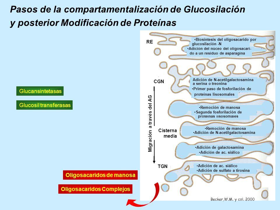 Pasos de la compartamentalización de Glucosilación y posterior Modificación de Proteínas