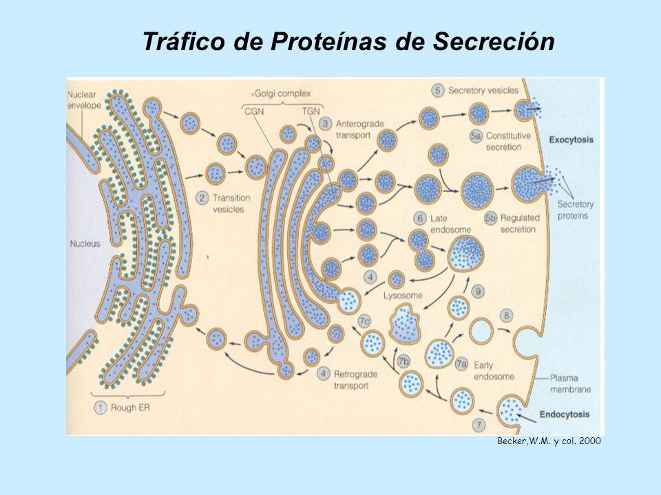 Tráfico de Proteínas de Secreción