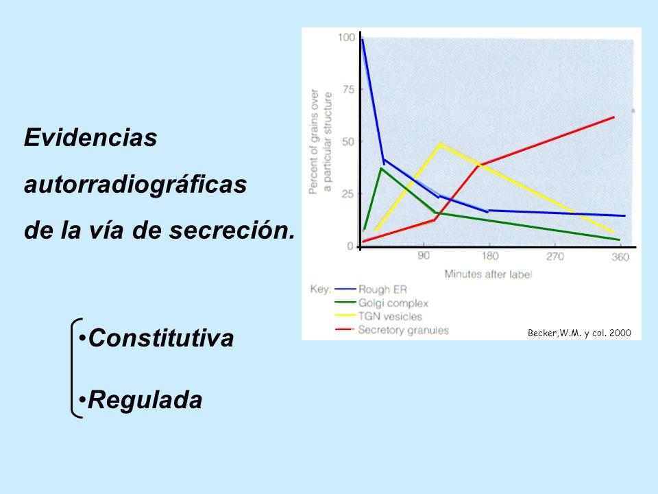Evidencias autorradiográficas de la vía de secreción. Constitutiva