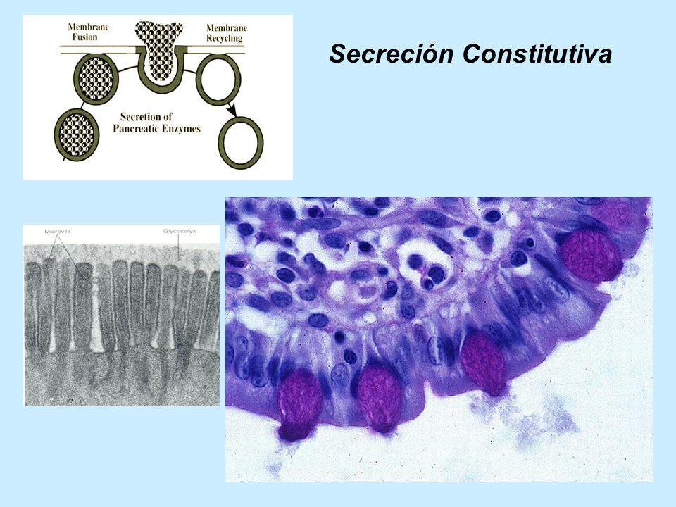 Secreción Constitutiva