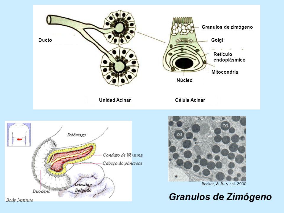 Granulos de Zimógeno Célula Acinar Unidad Acinar Ducto Núcleo