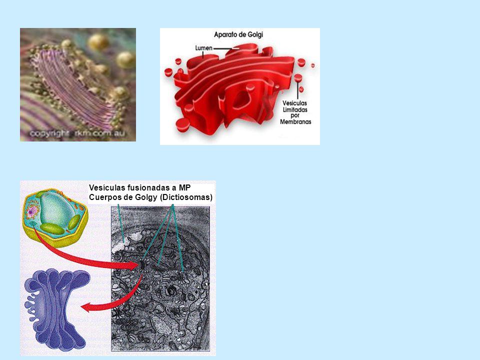 Vesículas fusionadas a MP
