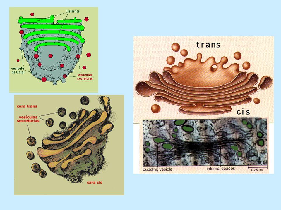 Usulamente hay de 3 a 8 cisternas por cada pila, en algunos organismos puede estar formada por docenas de cisternas.
