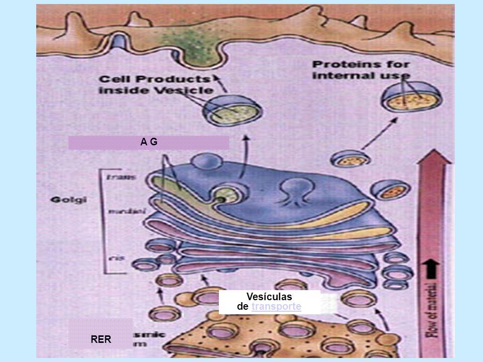 Vesículas de transporte RER A G