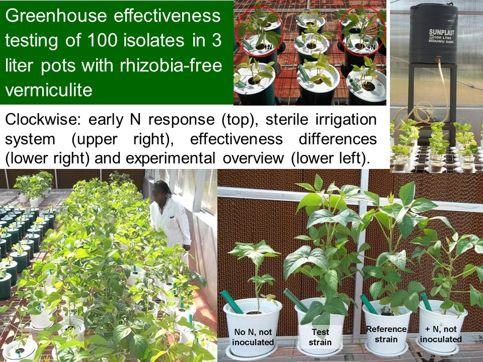 Greenhouse effectiveness testing of 100 isolates in 3 liter pots with rhizobia-free vermiculite