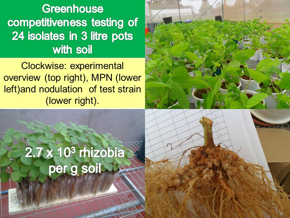 Greenhouse competitiveness testing of 24 isolates in 3 litre pots with soil