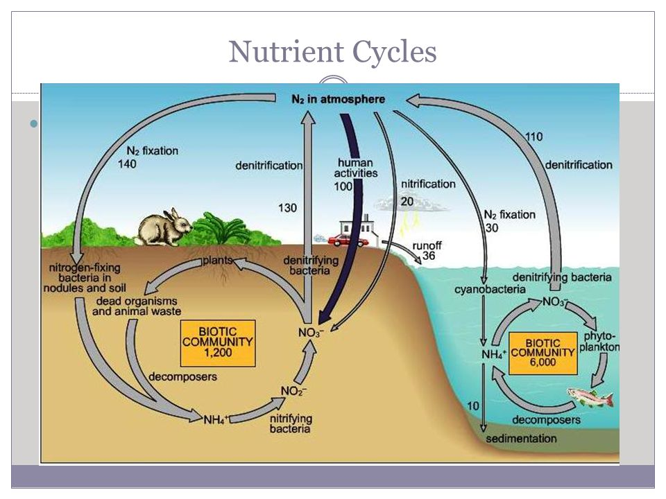Nutrient Cycles Nitrogen Cycle Required to build proteins, DNA, RNA