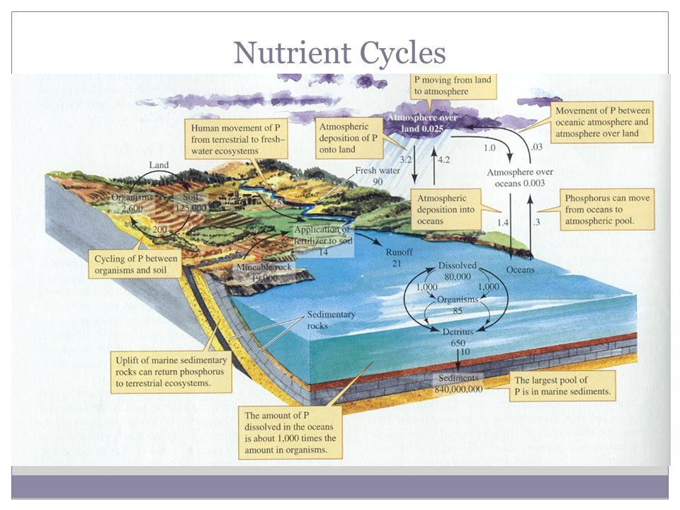 Nutrient Cycles Phosphorus Cycle Essential for creation of DNA, RNA