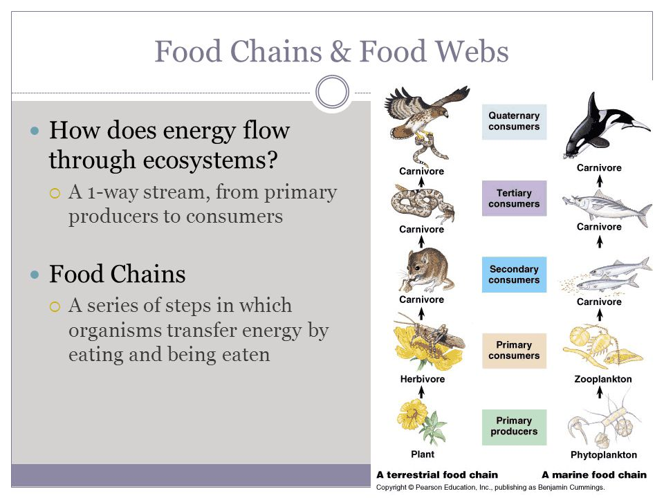 Food Chains & Food Webs How does energy flow through ecosystems