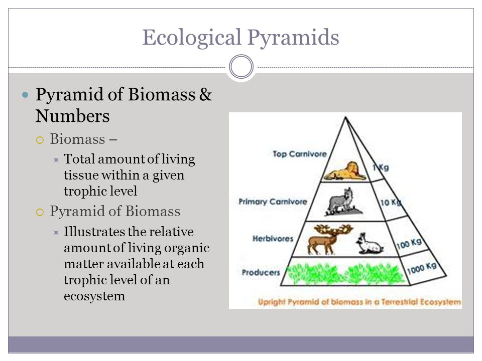 Ecological Pyramids Pyramid of Biomass & Numbers Biomass –