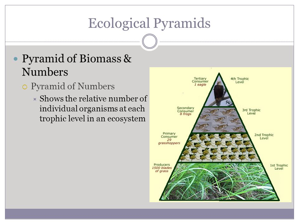 Ecological Pyramids Pyramid of Biomass & Numbers Pyramid of Numbers