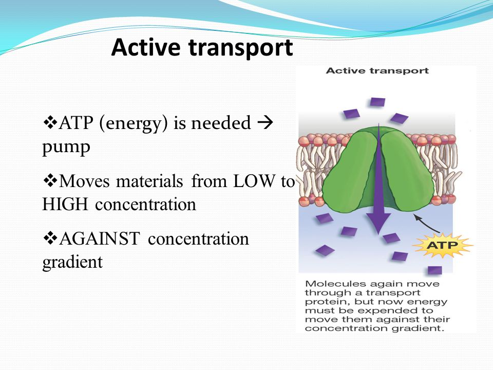 Active transport ATP (energy) is needed  pump