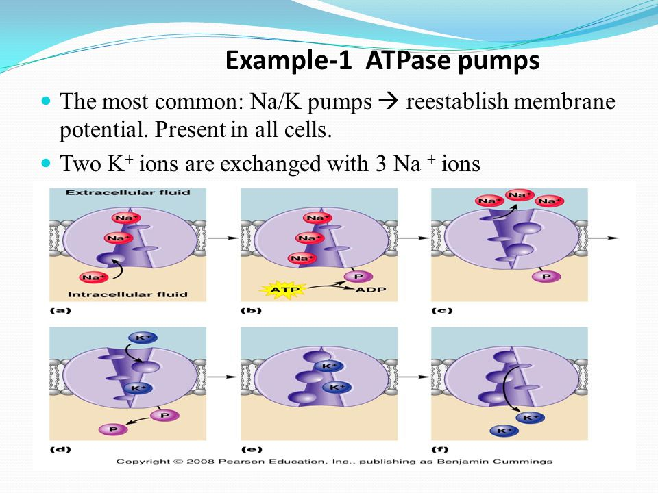 Example-1 ATPase pumps The most common: Na/K pumps  reestablish membrane potential. Present in all cells.