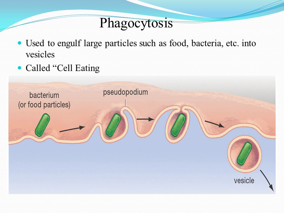 Phagocytosis Used to engulf large particles such as food, bacteria, etc.