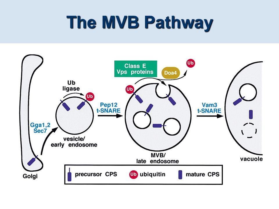 The MVB Pathway