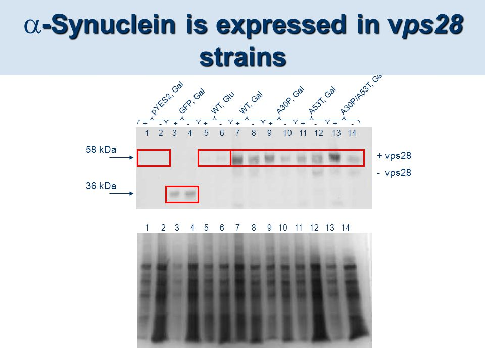 -Synuclein is expressed in vps28 strains