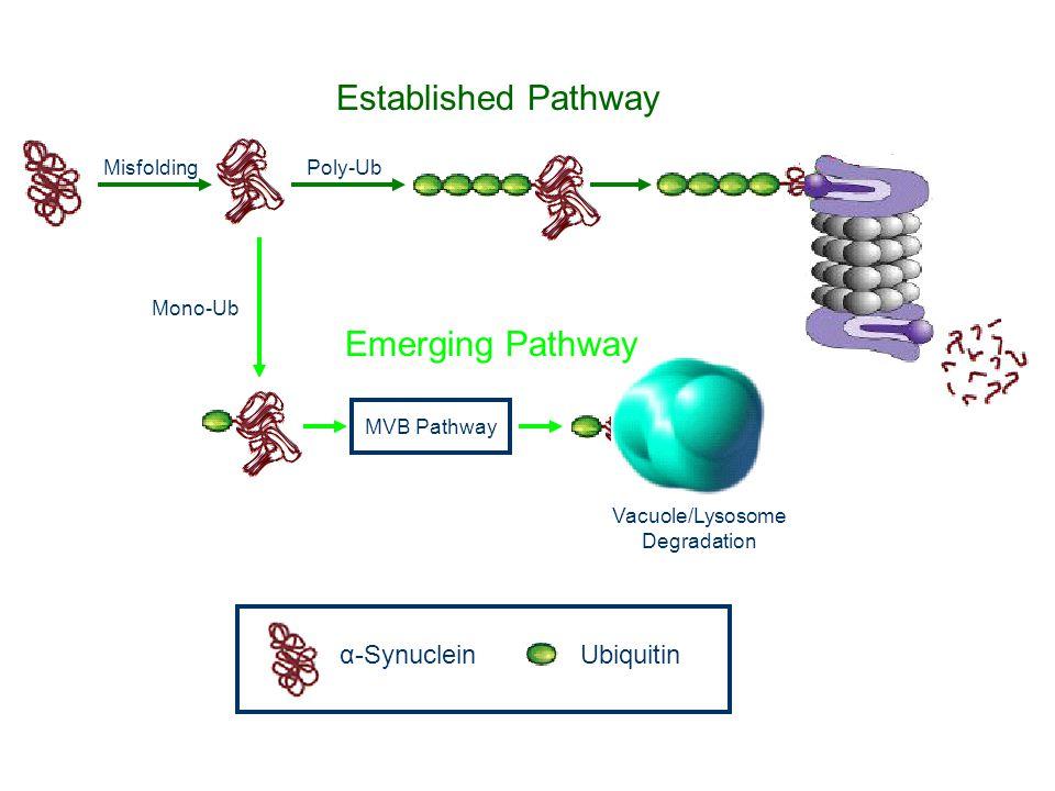Established Pathway Emerging Pathway α-Synuclein Ubiquitin Misfolding