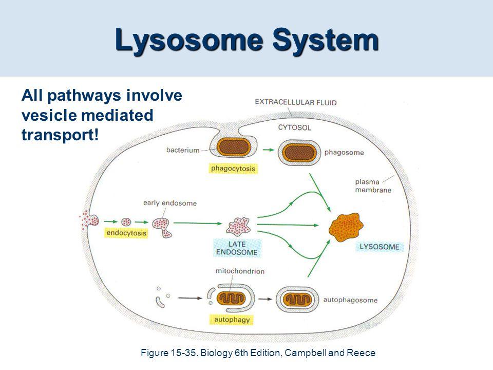 Lysosome System All pathways involve vesicle mediated transport!
