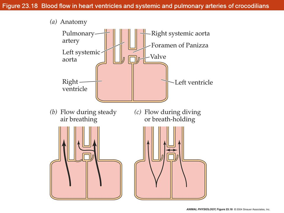 Figure 23.18 Blood flow in heart ventricles and systemic and pulmonary arteries of crocodilians