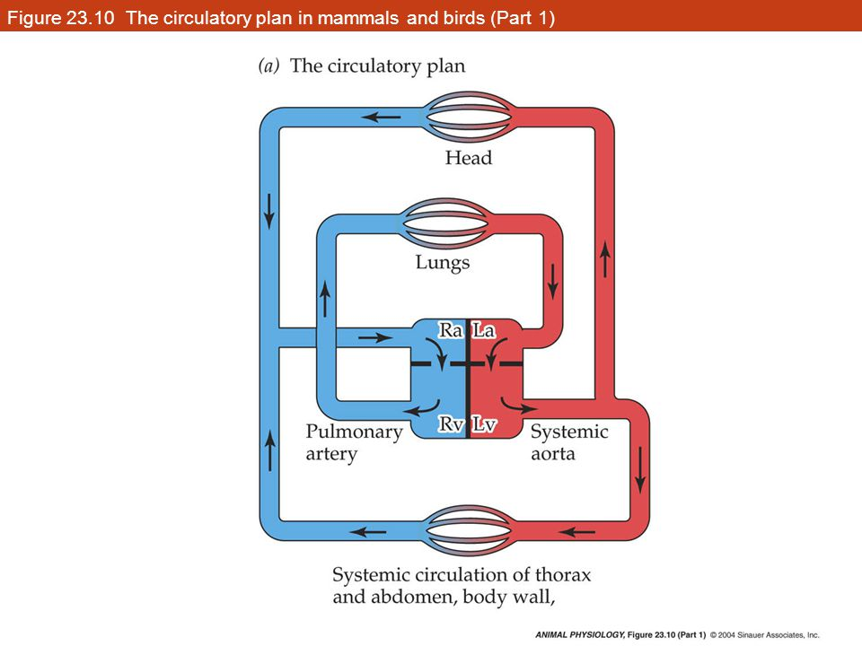 Figure 23.10 The circulatory plan in mammals and birds (Part 1)