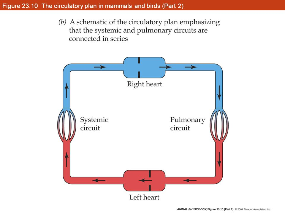 Figure 23.10 The circulatory plan in mammals and birds (Part 2)