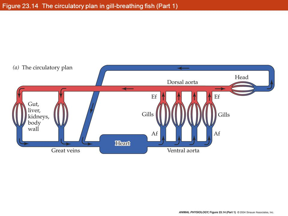 Figure 23.14 The circulatory plan in gill-breathing fish (Part 1)
